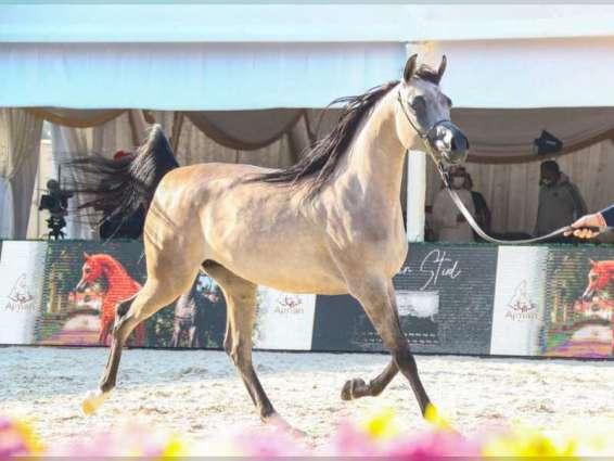 منافسات مثيرة في بطولة الظفرة لجمال الخيل العربية
