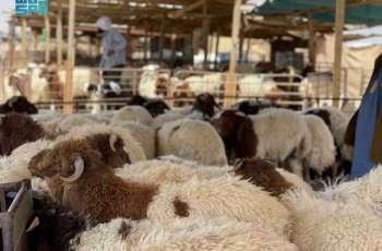 سوق المواشي بتبوك يشهد حركة شرائية مع قرب حلول شهر رمضان المبارك وسط التقيد بالإجراءات الوقائية
