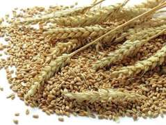 Exporters Suspend Purchase of Russian Wheat Due to High Export Fees - Reports