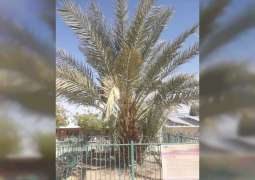 NYU Abu Dhabi researchers sequence genome of 2,000 year-old extinct date palm