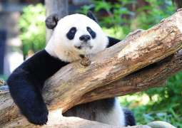 China Says Giant Pandas No Longer Endangered in Wild Due to State Conservation Efforts