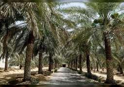 250 صنفا من التمور على مستوى الإمارات