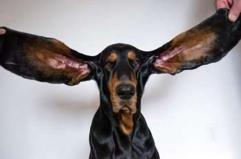 Lou with the longest ears makes world record